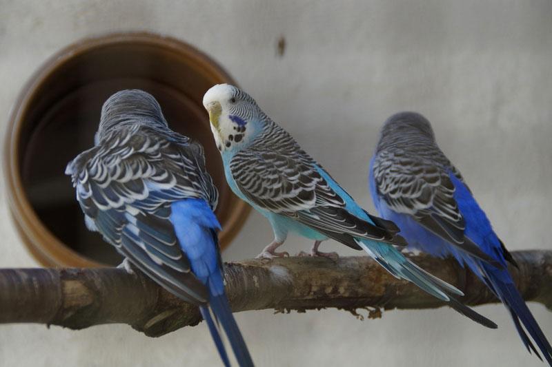 インコを飼うならヒナと若鳥どっちをお迎えするべき?−メリット・デメリットとは−