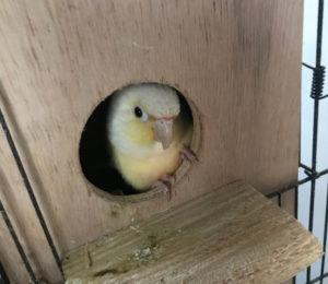 ウロコインコペアに巣箱を設置