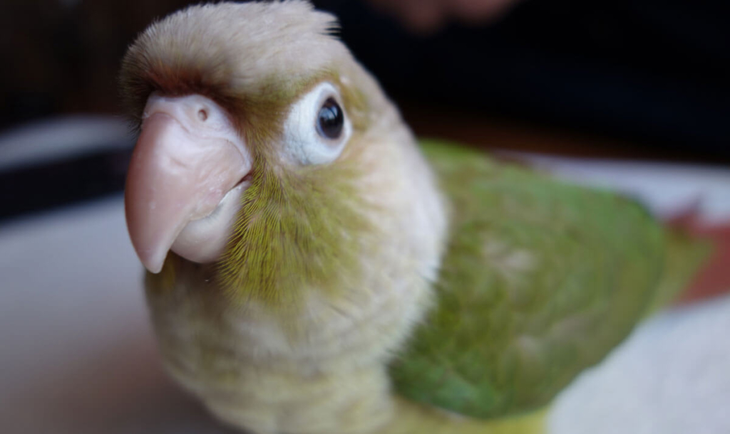 【ウロコインコ】種類によって違う羽の色を比較してみました
