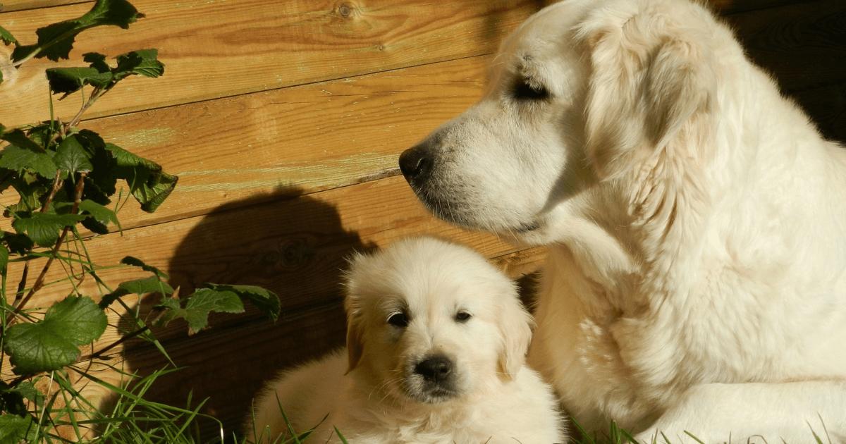 【大きさ別犬の年齢早見表】シニアはいつから?大型犬はなぜ短命?